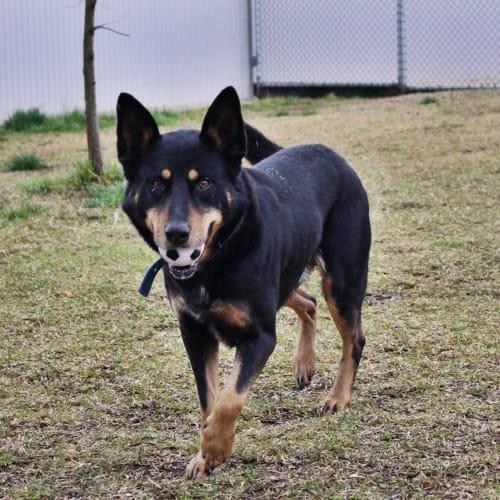 Tye - Kelpie Dog