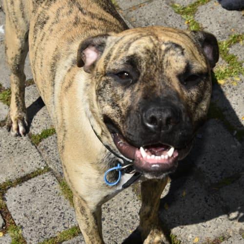 Odin - Foster Carer Needed - Boxer x American Staffordshire Bull Terrier x American Bulldog