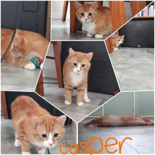 Casper - Domestic Short Hair Cat
