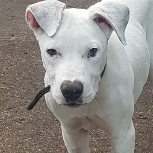 Syd - Boxer Dog