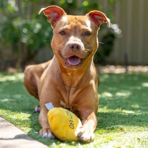 Charlotte - American Staffordshire Bull Terrier Dog