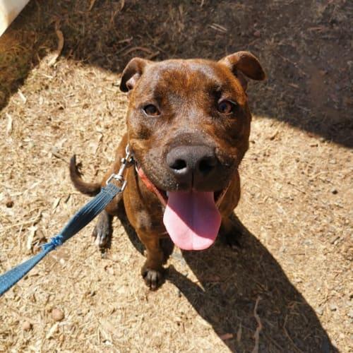 Mac - Staffordshire Bull Terrier Dog