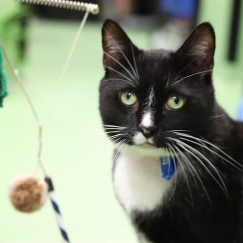 Bucky - Domestic Short Hair Cat