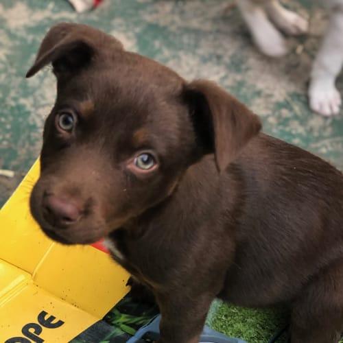 Presley - Koolie Dog