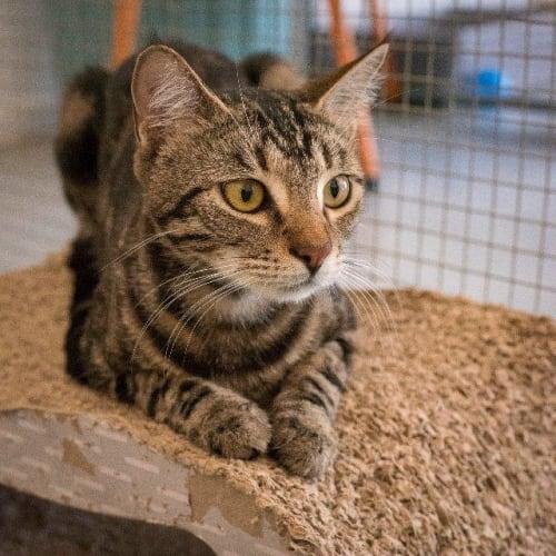 Eleni - Domestic Short Hair Cat