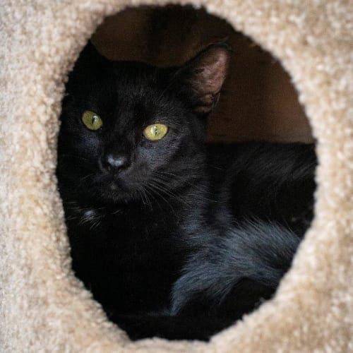 Alistair - Domestic Short Hair Cat