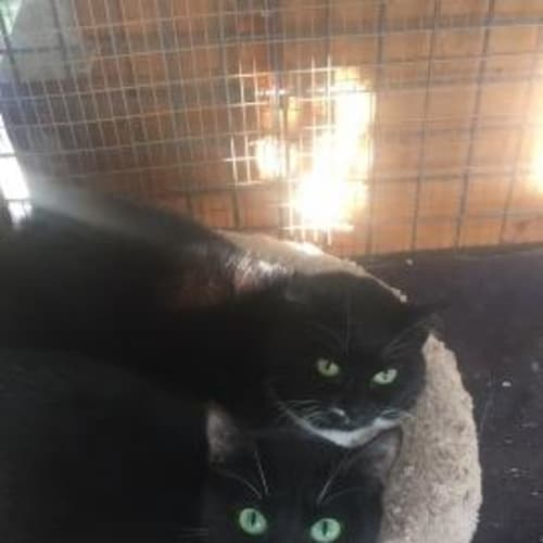 Maze - Domestic Short Hair Cat