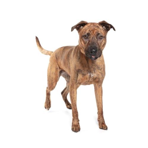 Narla - Staffordshire Bull Terrier Dog