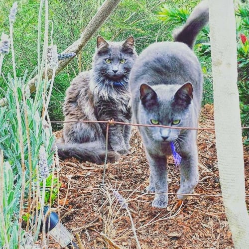 Greystoke and Gandalf - Russian Blue Cat