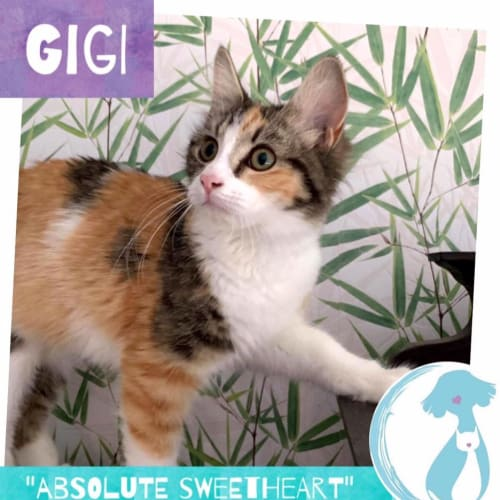Gigi - Domestic Medium Hair Cat