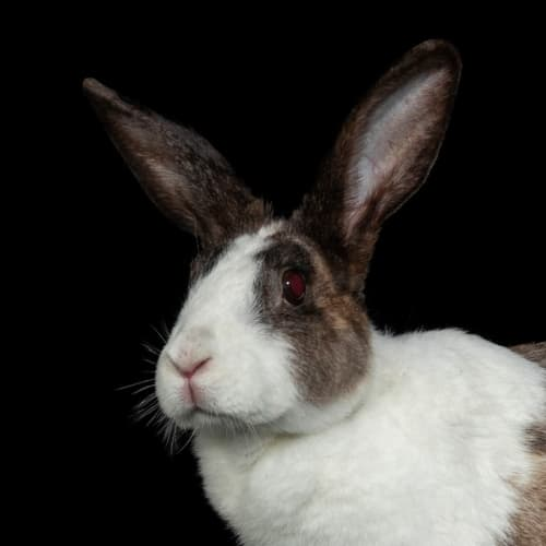 Lottie - Dutch Rabbit