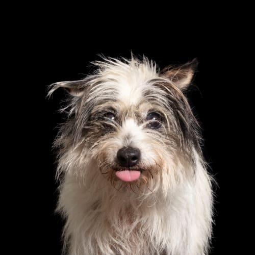 Blue - Fox Terrier Dog
