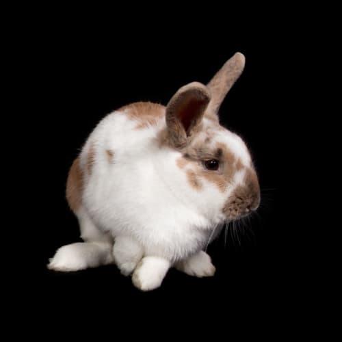 Rabunzel - Rex Rabbit