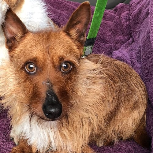 Tilly - Australian terrier Dog