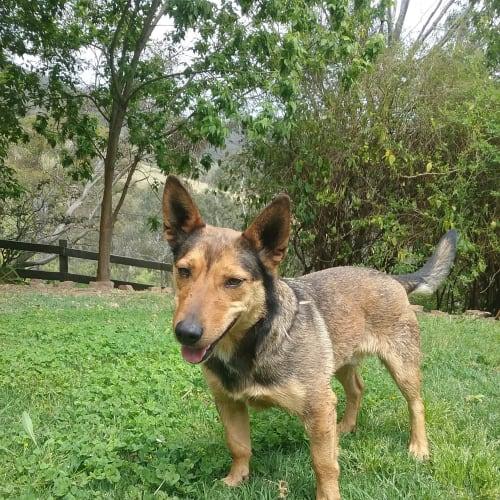 Milo - Miniature Fox Terrier Dog