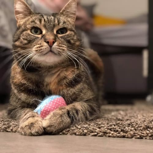 Miss Kitty Le Purr - Located in Reservoir  - Domestic Short Hair Cat