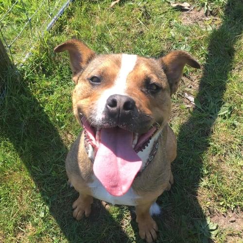 Dallas - Medium Cross Breed Dog