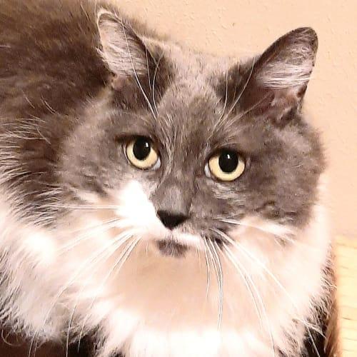 Bonnie super smoocher! - Domestic Medium Hair Cat