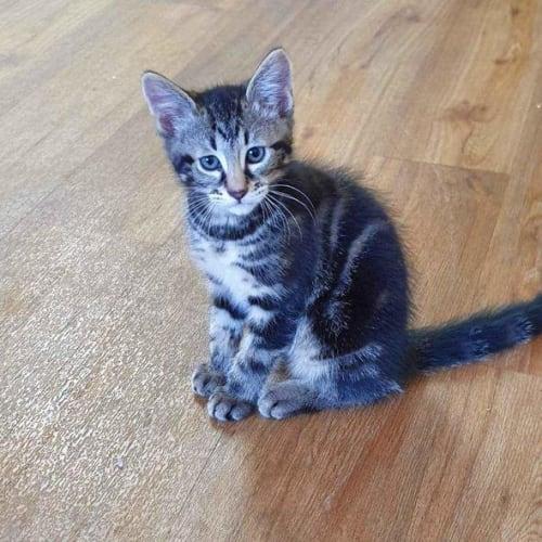 Buckley - Domestic Medium Hair Cat