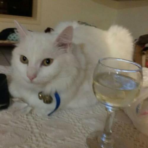 Mim - Domestic Medium Hair Cat