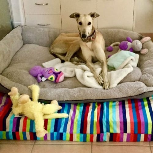 Stella Star - Greyhound Dog