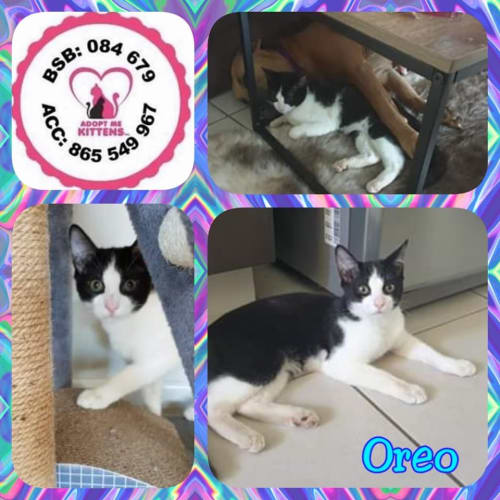 Oreo - Domestic Short Hair Cat