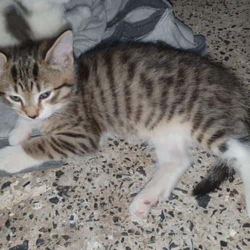 Letitia - Domestic Medium Hair Cat
