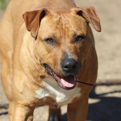 gypsy - Staffy Dog