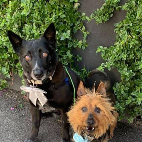 Millie & Coco - Kelpie x Silky Terrier Dog