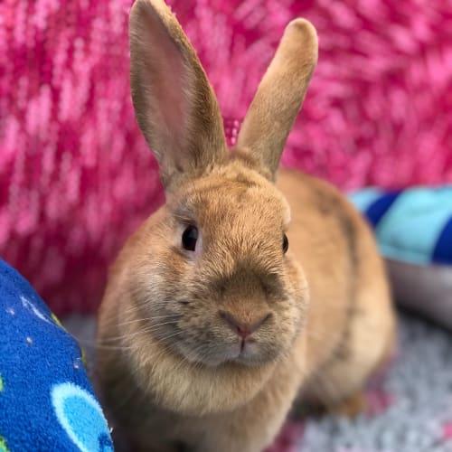Sprinkles  - Domestic Rabbit