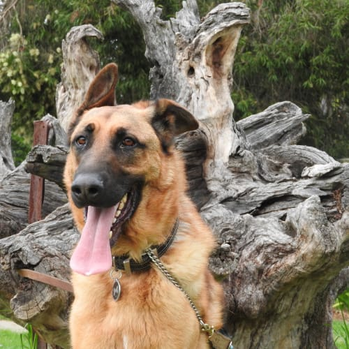 Duke - German Shepherd Dog