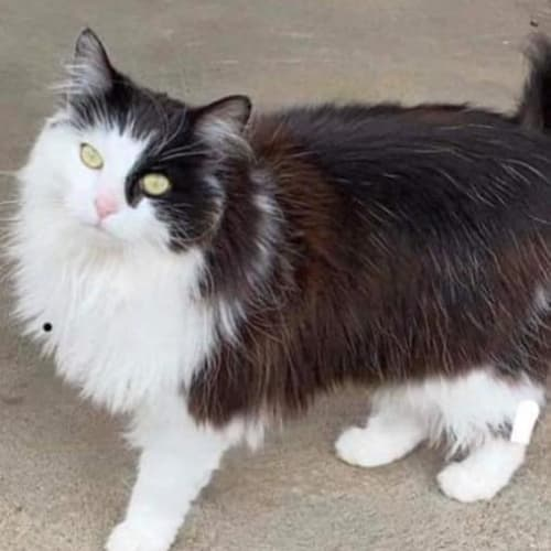 Buttons - Domestic Long Hair Cat