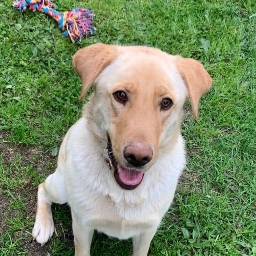 Tuddy (on trial) - Labrador Dog