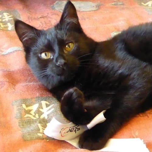 Harlem (Located in Springvale) - Domestic Short Hair Cat