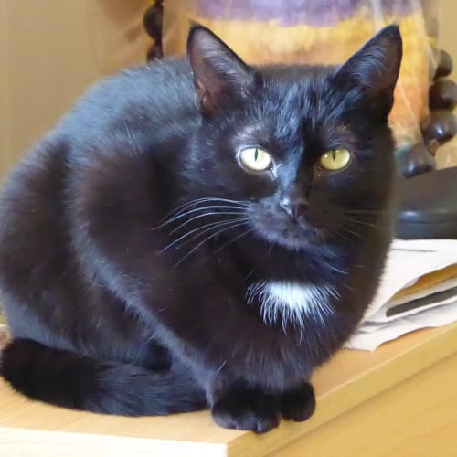 Audra (Located in Springvale) - Domestic Short Hair Cat