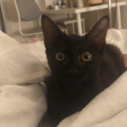 Milby - Domestic Short Hair Cat