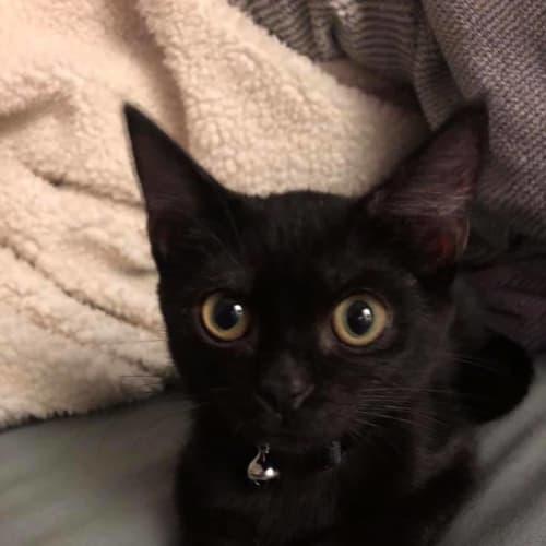 Sabrina - Domestic Short Hair Cat