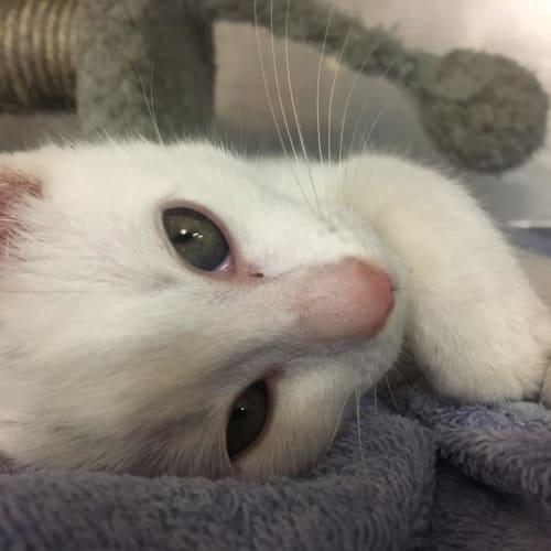 Snow - Domestic Short Hair Cat