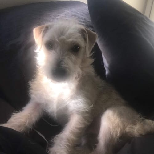 Ozzy 🇦🇺 🇦🇺 - Jack Russell Terrier Dog