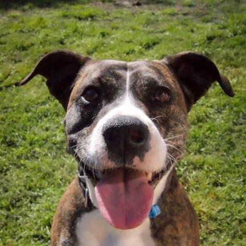 Riley - Staffy Dog