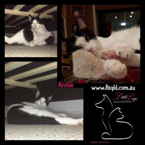 Archie - Domestic Short Hair Cat