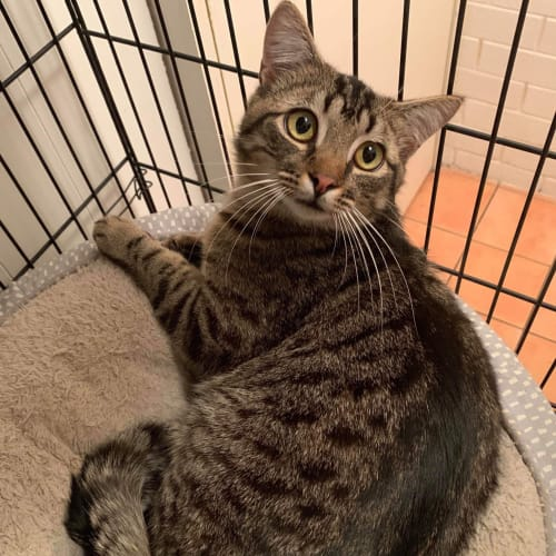 Ricky - Domestic Short Hair Cat