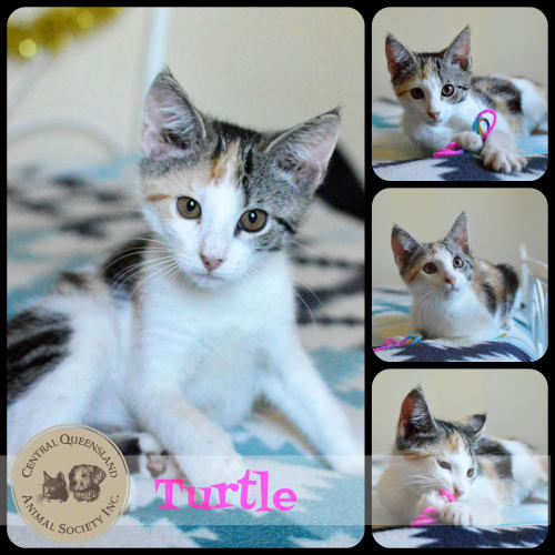 Turtle - Domestic Short Hair Cat