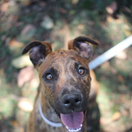 Opal - American Staffordshire Bull Terrier x Bull Arab Dog