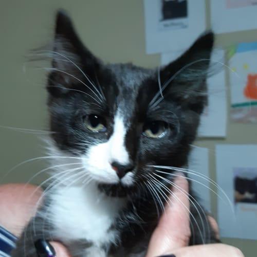 Gary - Domestic Medium Hair Cat