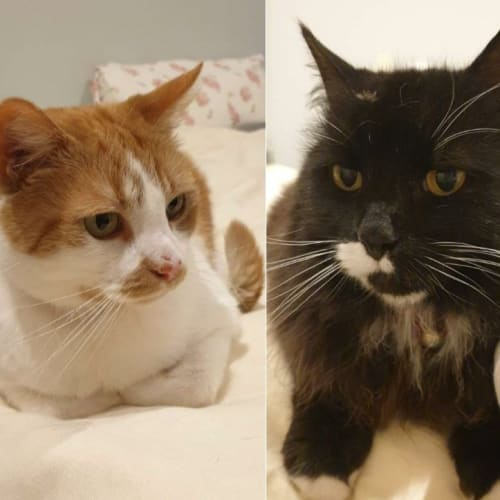 Percy&Snookums - With Free Lifetime Pet Insurance! - Domestic Short Hair Cat