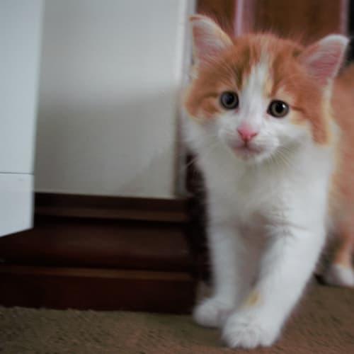 MacGyver SK3057 - Domestic Medium Hair Cat