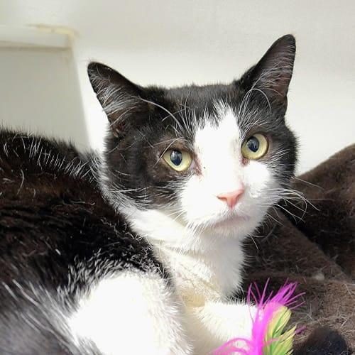 Humphrey SUK004245 - Domestic Short Hair Cat
