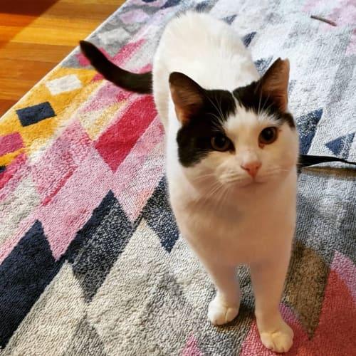 BonBon - Domestic Short Hair Cat