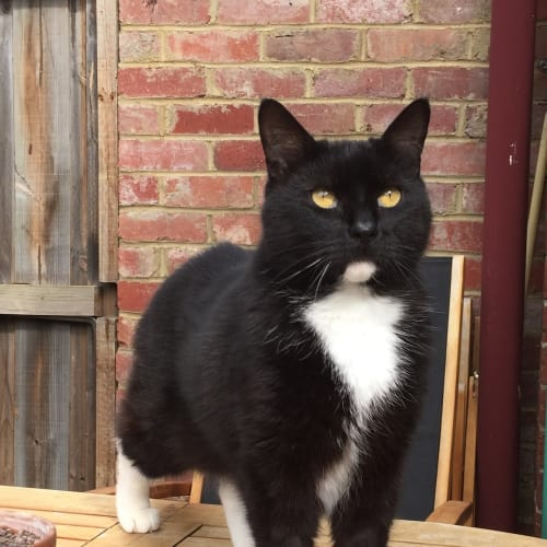 Sox - Located in Northcote - Domestic Short Hair Cat